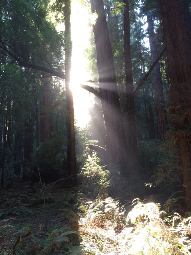 Lyset slipper gjennom Redwood-trærne i Muir Woods